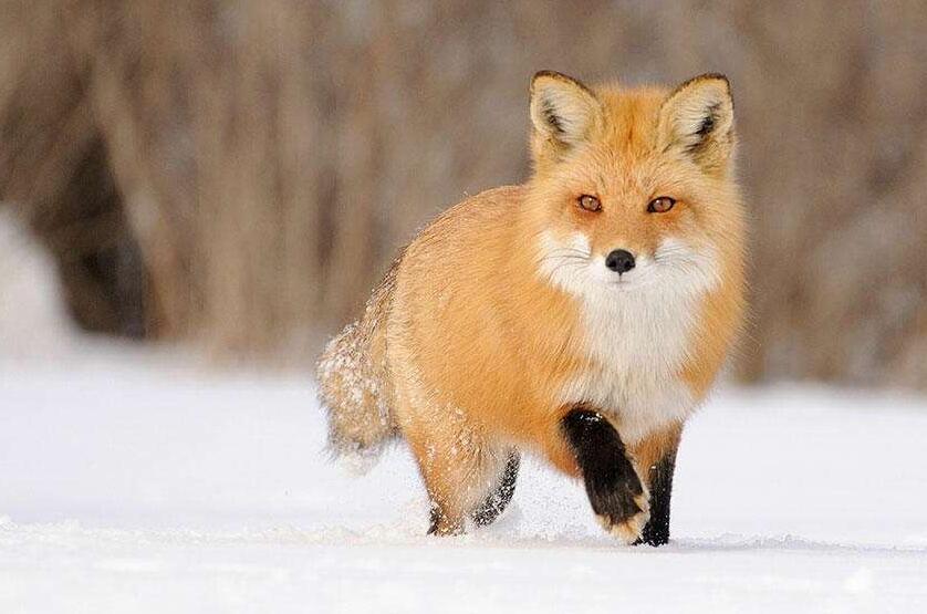狐狸肠炎病怎么样预防
