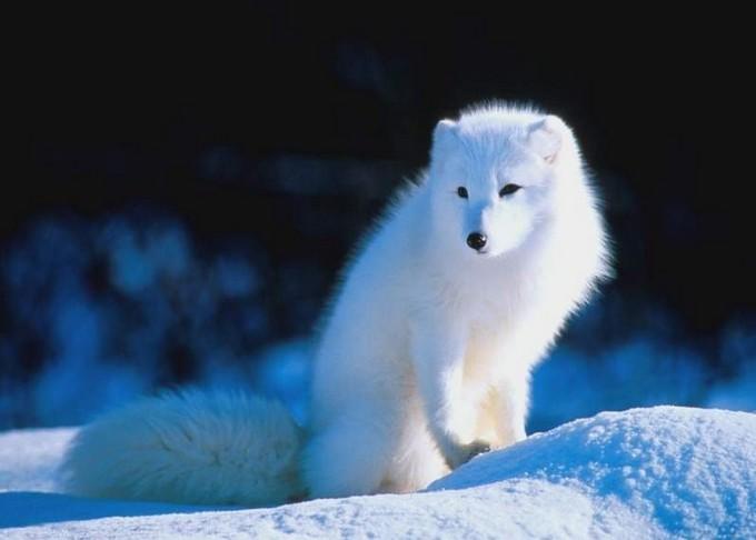 狐狸的种类