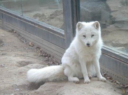 狐狸重感冒如何治疗