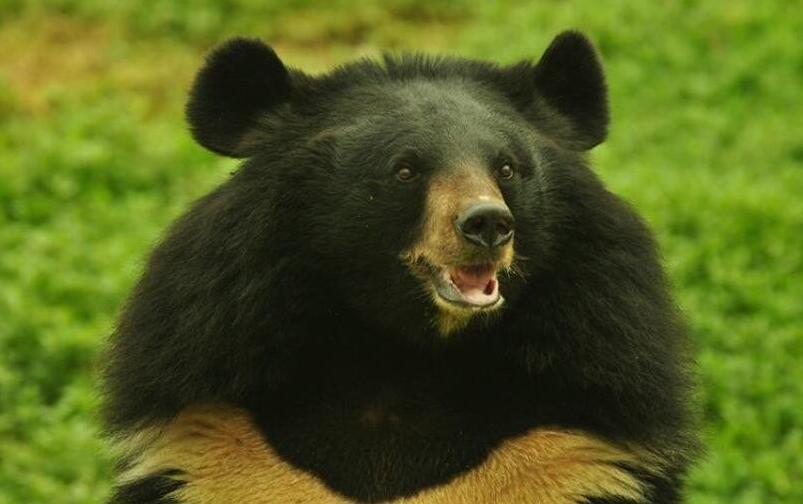 中国黑熊种类