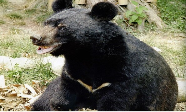 黑熊的饲喂方式