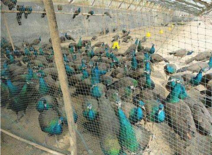 蓝孔雀孵化的条件