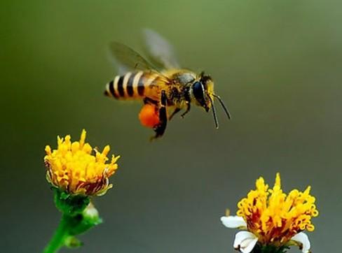 如何制作蜜蜂饲料