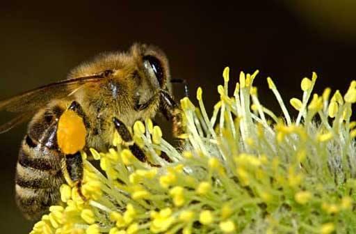 如何给蜜蜂喂花粉