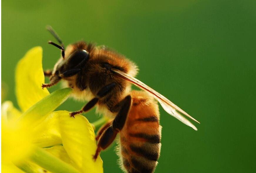 意蜂指什么以及怎么样养殖