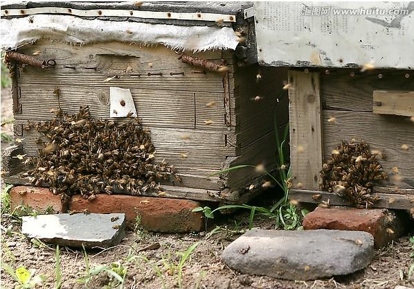 养蜂收捕洞穴技术