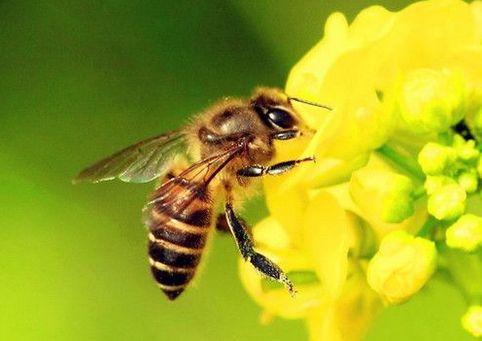 蜜蜂防治蚂蚁技巧