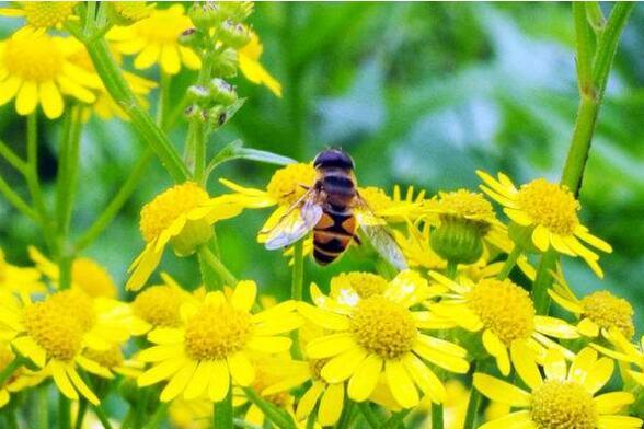 户外养殖蜜蜂注意什么