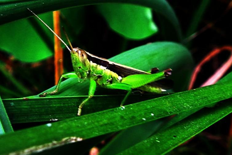 怎么样防止蝗虫死亡