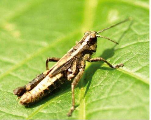 蝗虫是益虫还是害虫?