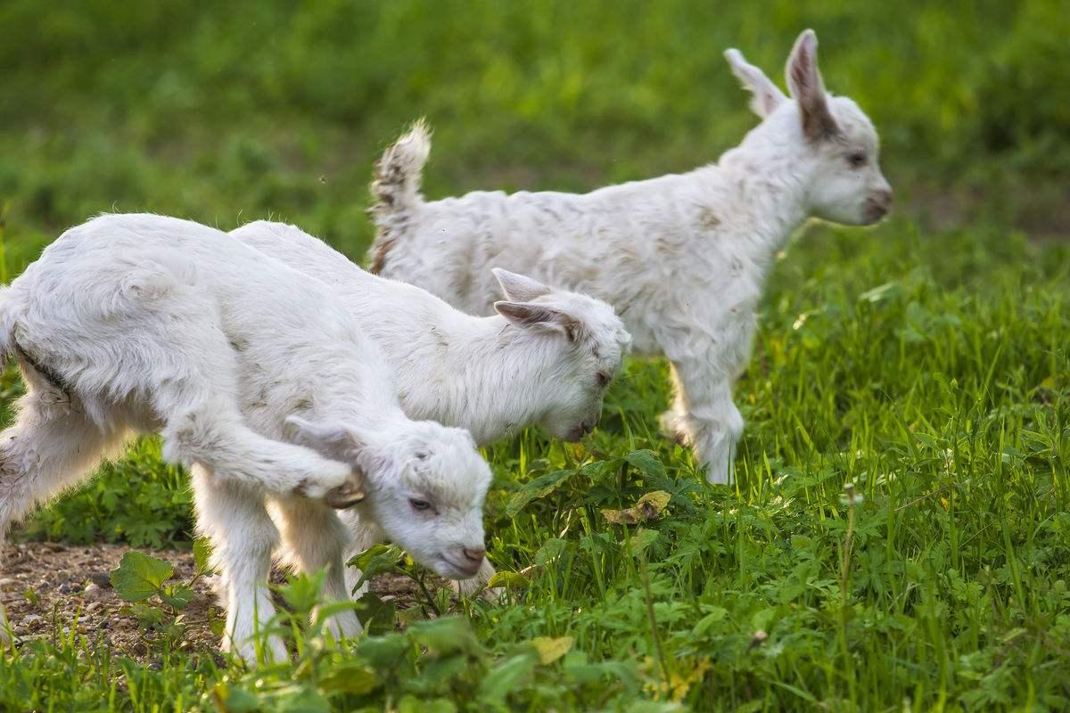 饲料对羊的营养价值