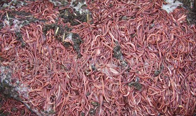 蚯蚓的采收方法
