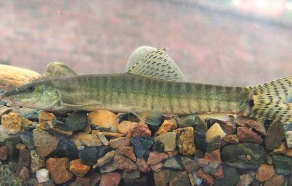 无土养殖泥鳅的技术无土养殖泥鳅
