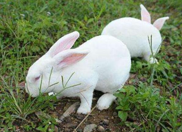 沙漠棉尾兔养殖技术