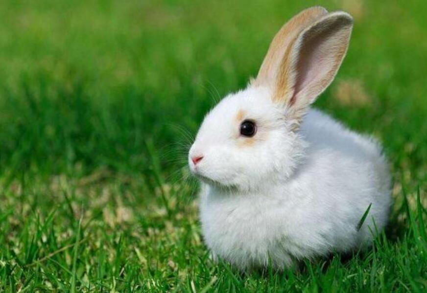 公羊兔饲养技巧