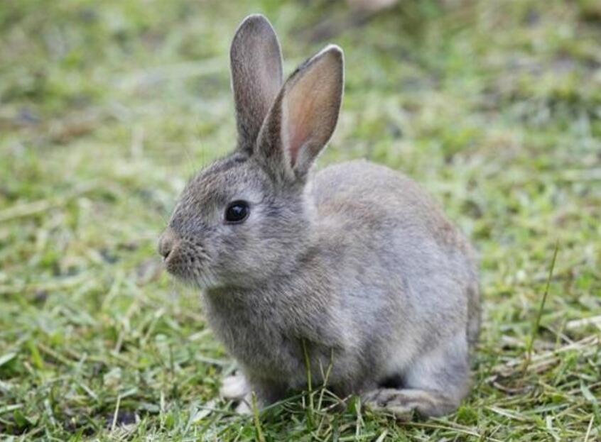 灰尾兔养殖技术