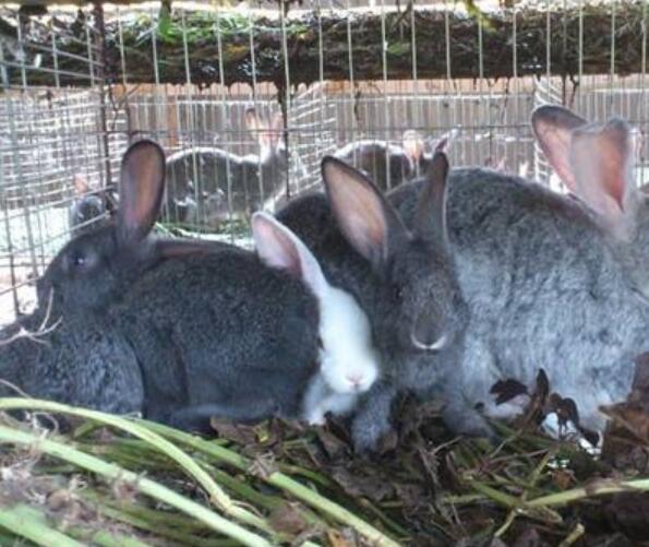 雪兔养殖技术