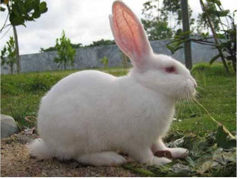伊拉兔的养殖技术