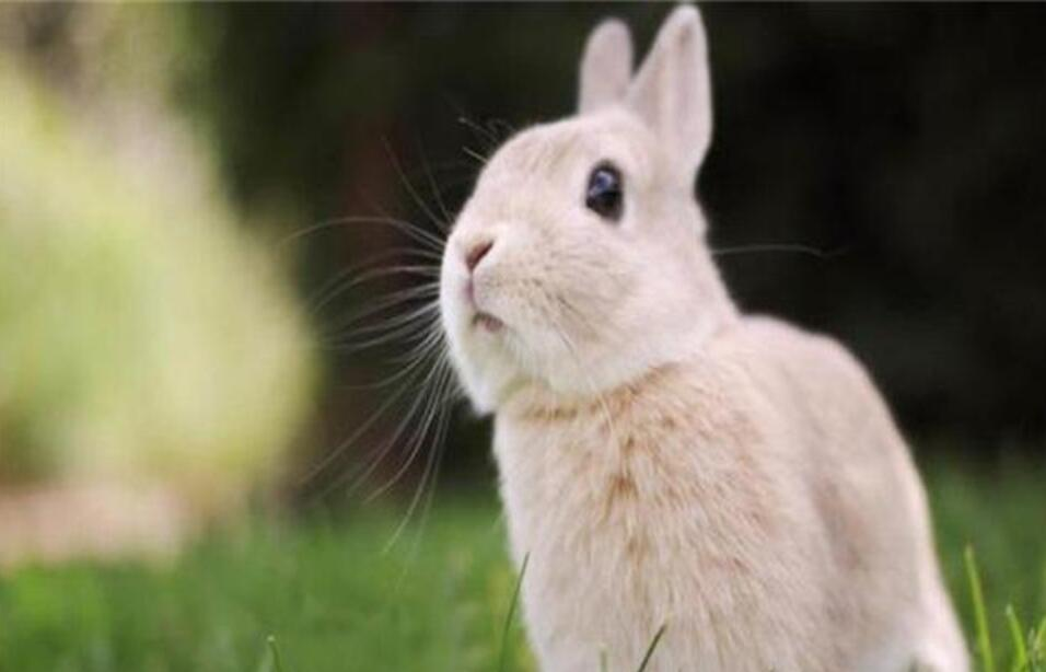 佛州大白兔怎么样养殖