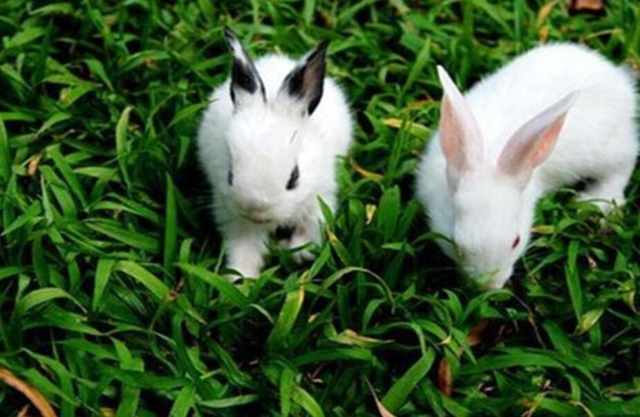 洁西伍莉兔的养殖技术