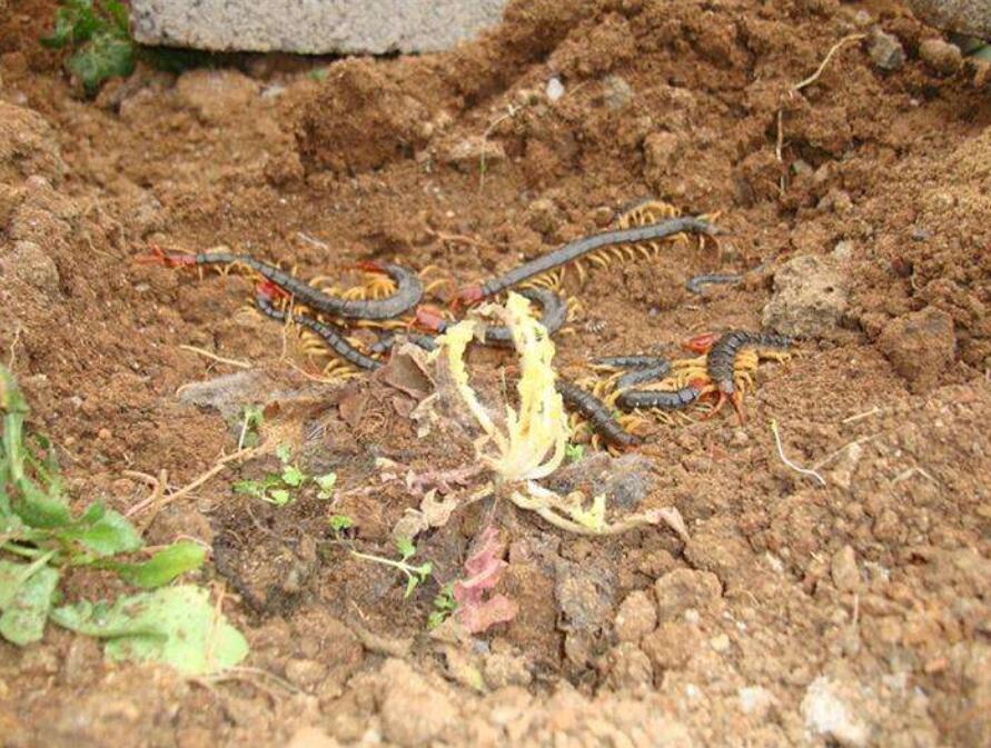 养殖蜈蚣引种的技术