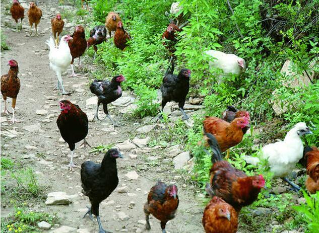 大蒜对养鸡有什么作用