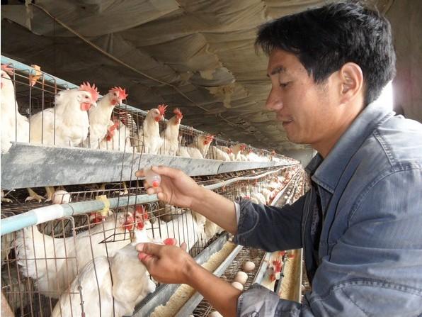 鸡免疫接种方法