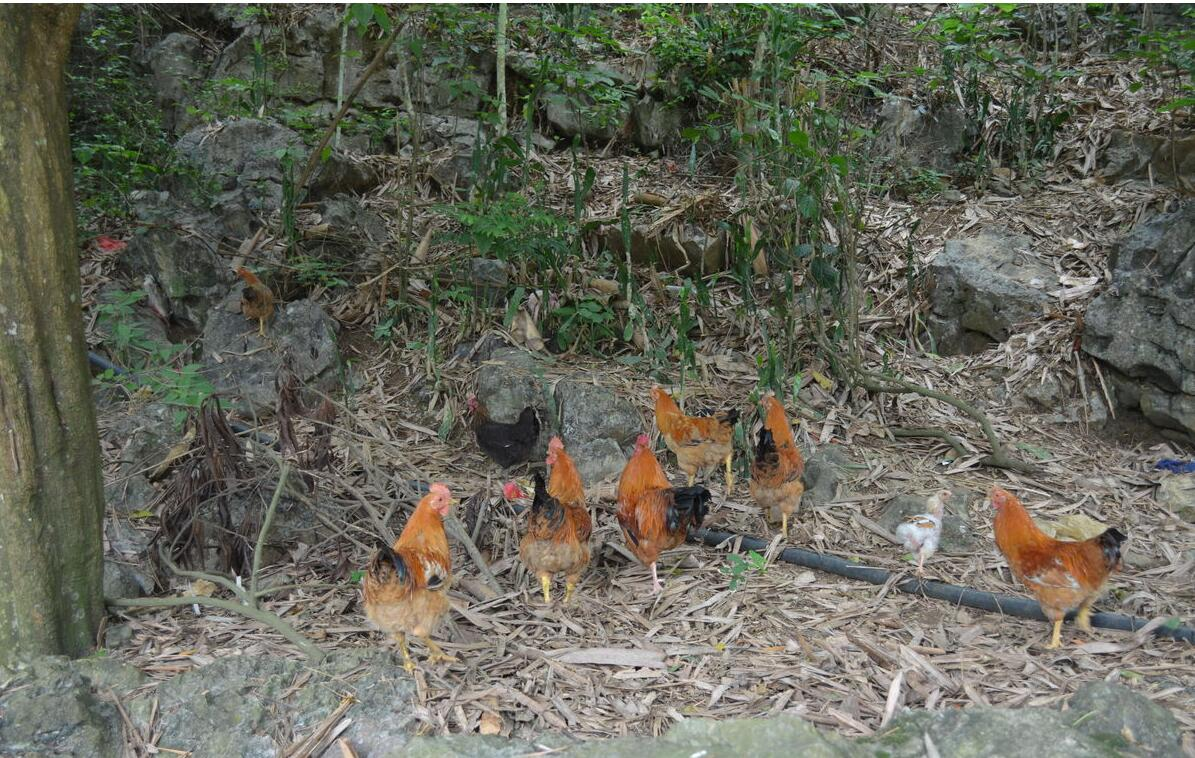 如何给鸡饲料加药