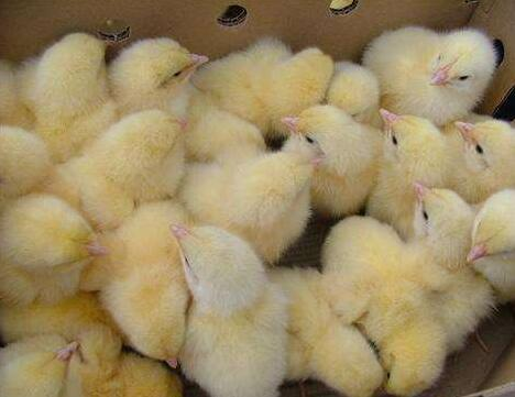 鸡苗怎么样使用维生素