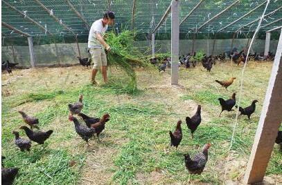 养鸡保健饲料有哪些