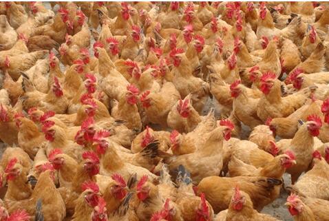 豆饼喂鸡注意什么