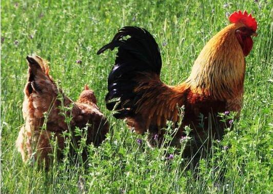鸡胚啄壳死亡怎么办