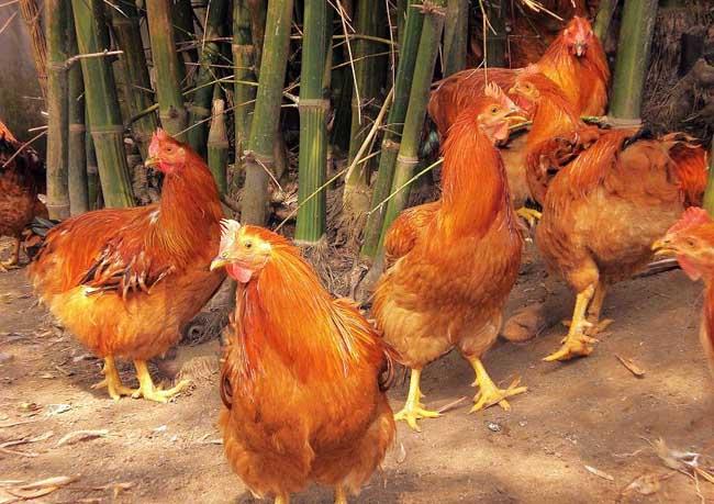 养鸡场地选择