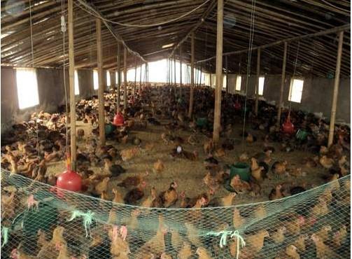 怎么样防治鸡的链球菌病