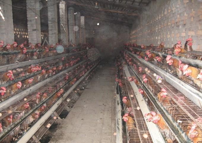 鸡舍降氨的技巧
