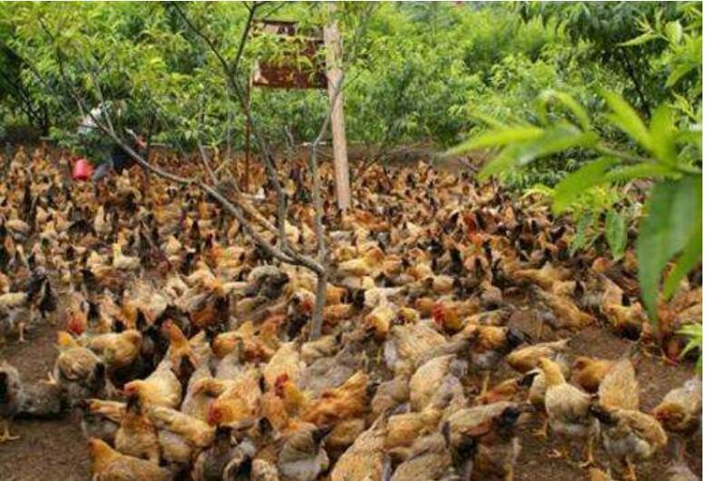 养鸡传染性候气管炎怎么样治疗