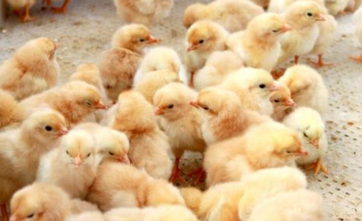 雏鸡进舍注意什么