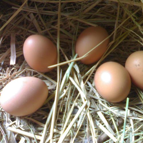 种蛋孵化注意什么