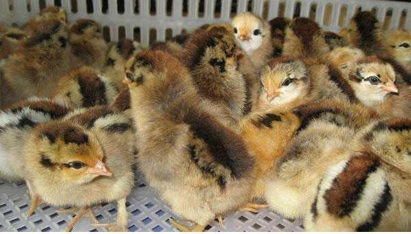 鸡苗孵化注意什么