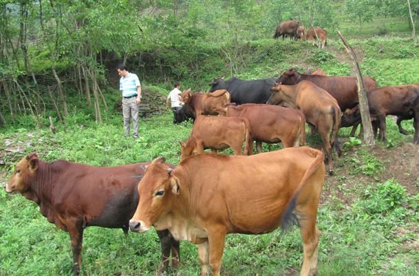如何提高奶牛繁殖率