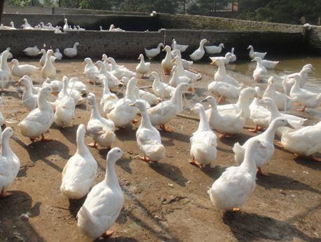 樱桃谷鸭雏鸭的饲养技术
