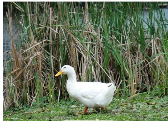 松香黄鸭品种介绍
