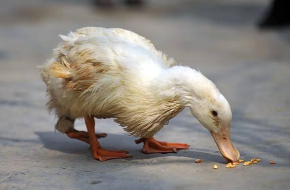 鸭瘟的临床症状有哪些