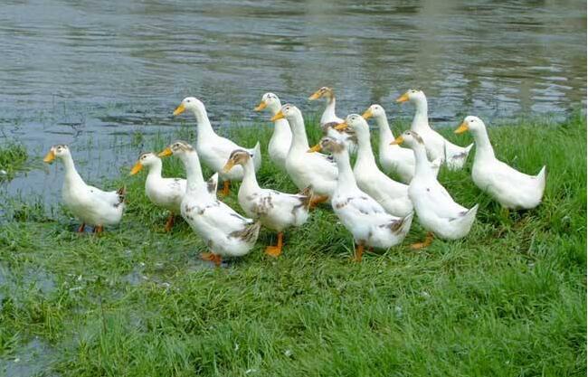 仔鸭如何养殖