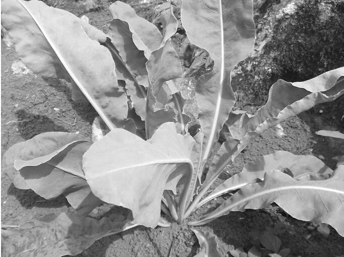 板蓝根种植技术