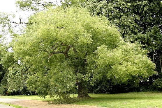 黄金槐繁殖的方法