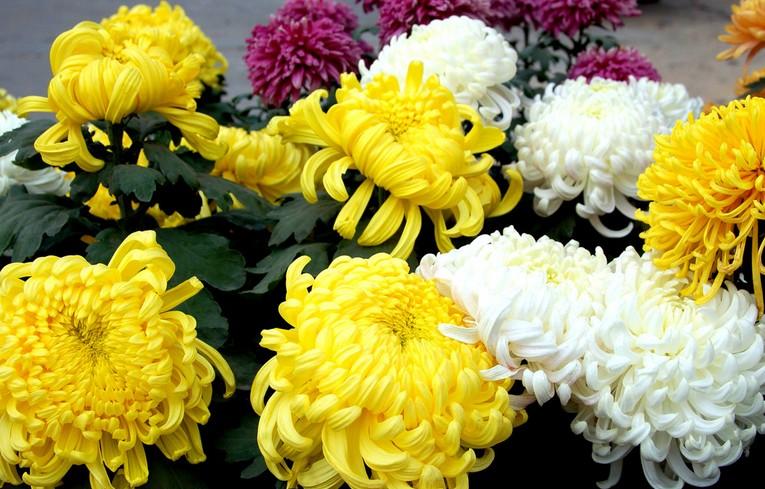 菊花的中种植技术