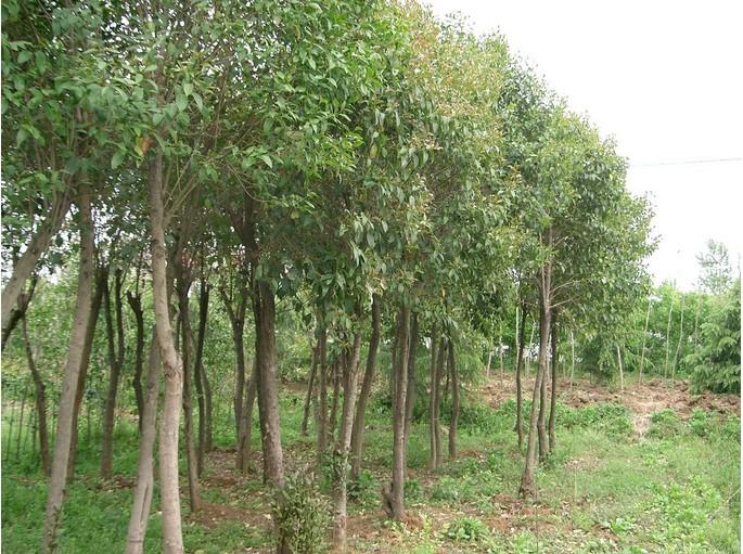 乔木种植的误区