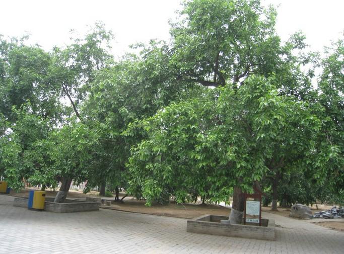 桑树的种类