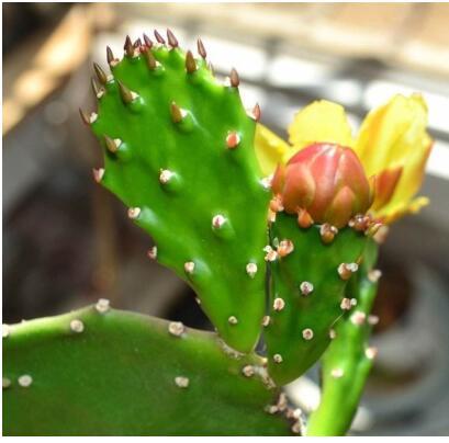 仙人掌多久开花?